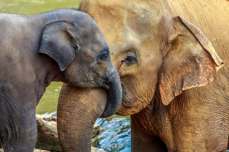слоненок с матерью