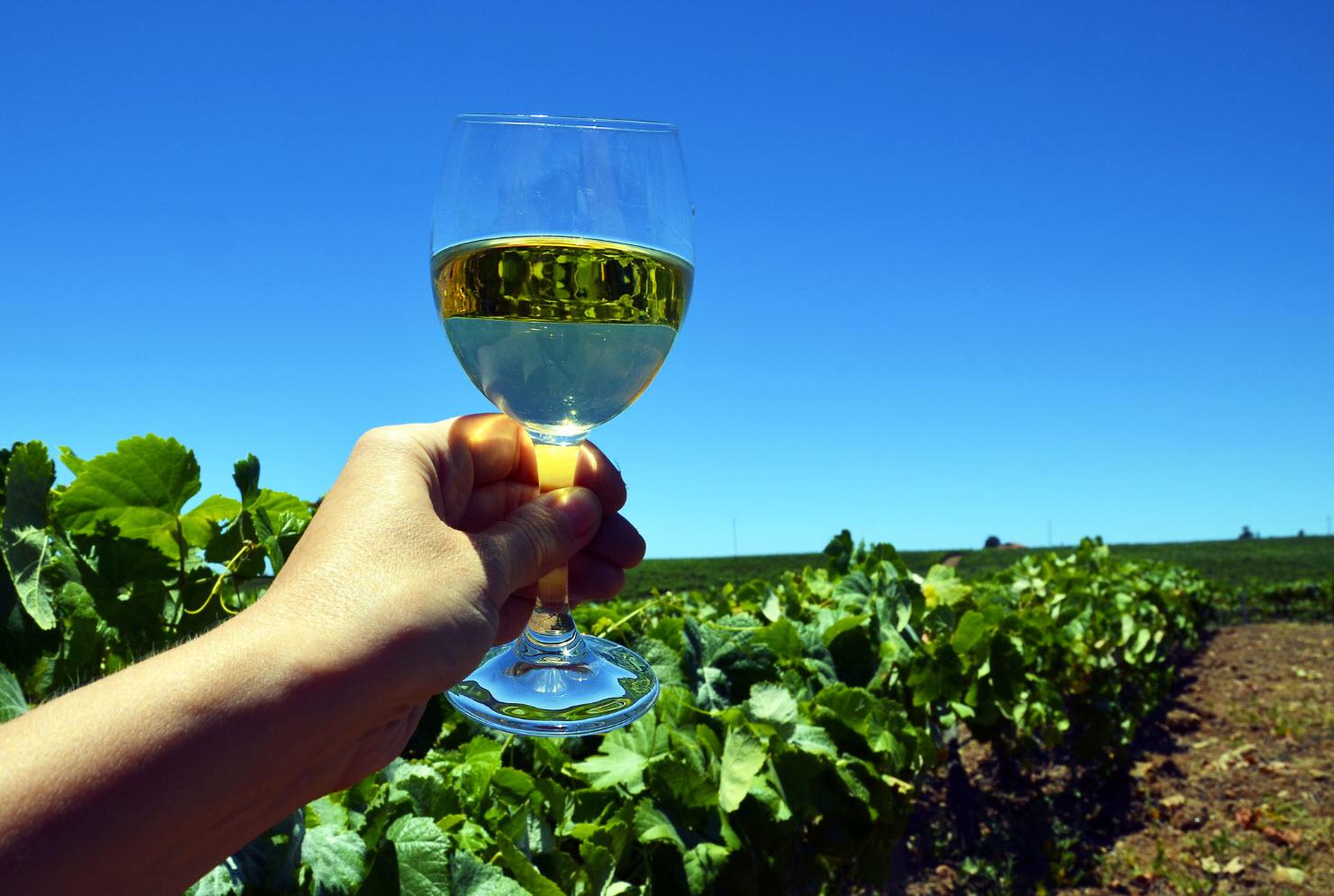 виноградники Гран-Канарии